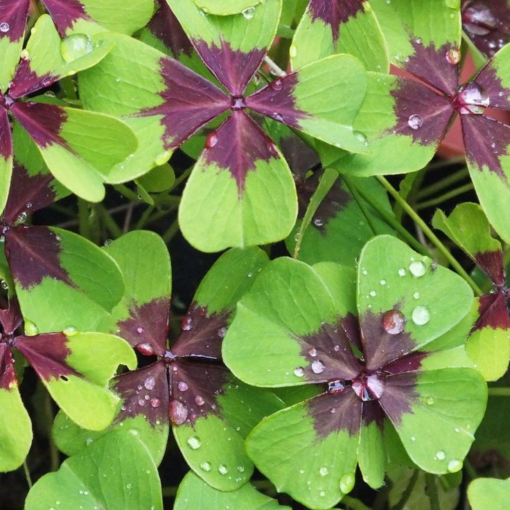 Oxalis Iron Cross Good Luck Plant Garden Plants