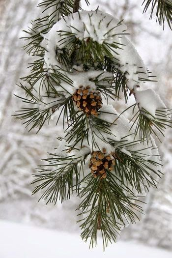 snow on pine                                                                                                                                                      More