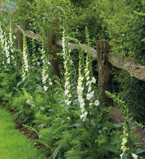 White foxgloves. Seeds: Sow under cover May - July on compost surface, do not cover. Transplant to 7.5cm pots, grow on and harden off before late summer, early autumn planting in final flowering position or can sow direct. CARE TIPSThey self seed freely but some will revert to the wild colour form. Pull out any seedlings with red stems if you want them to remain pure. May need staking.