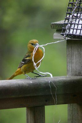 This picture perfectly shows how orioles will take any string or thread they can find.