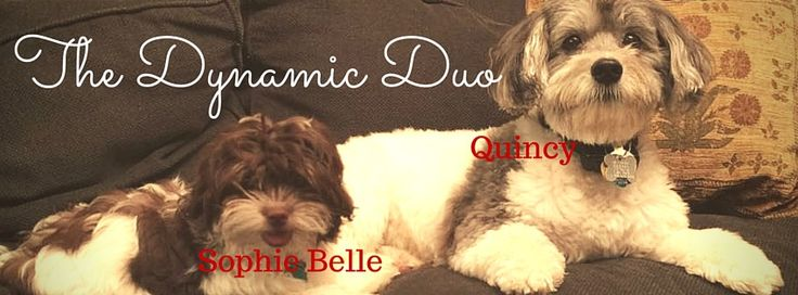 Life is better with a dog, especially when you have two of these beauties!  My Havanese fur babies, Quincy and Sophie Belle.