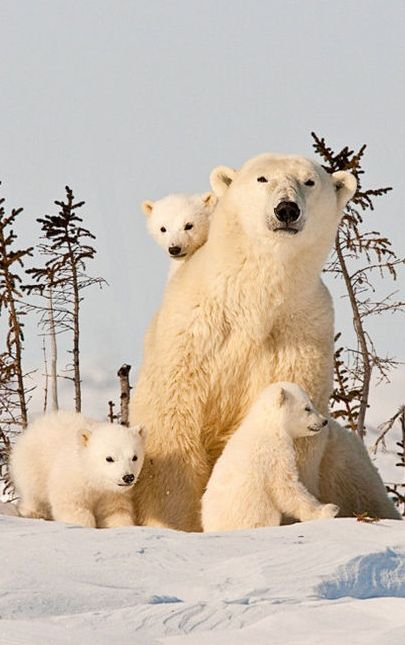 Mom with her beautiful cubs at the Churchill Wilderness Area of Wapusk National Park in Manitoba, Canada • photo: Robert Sabin on NatureScapes