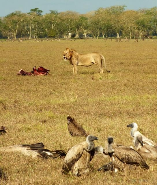 This Gorongosa lion proudly stands in front of Lion House with his freshly killed wildebeest while the vultures patiently await their turn to feast. Can you imagine going on a safari like this one?? Thanks to Tish Grant of Bushfind for this photo!