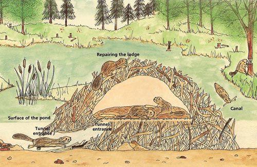 beaver lodge ~ master builders