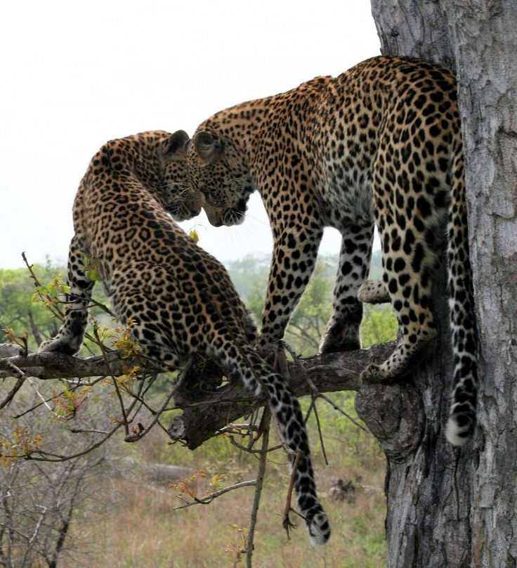 Leopards in Tree (Новости) http://magspace.ru/blog/EnimalsBlog/224911.html leopard info http://www.livescience.com/27403-leopards.html