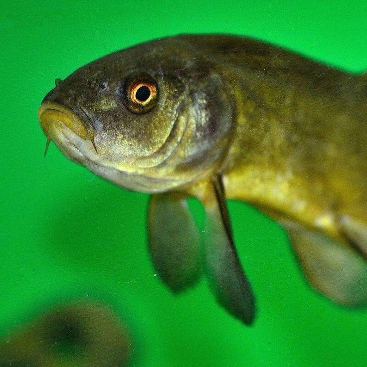 Magazyn Akwarium czasopismo akwarystyczneDeformacje ciała u ryb