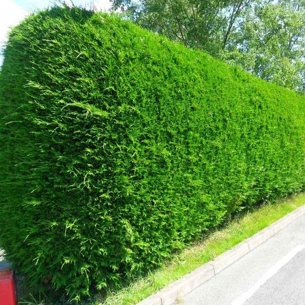cupressocyparis leylandii hedging plants in the g a r d. Black Bedroom Furniture Sets. Home Design Ideas