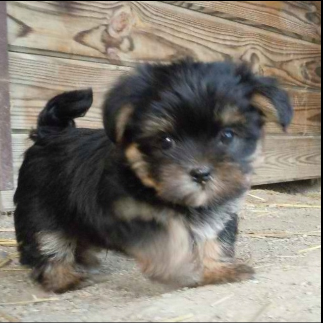 Yorkie Apso! (yorkie and a Lhasa mix)