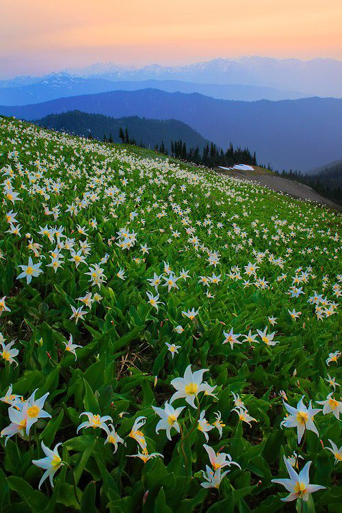 Avalanche lilies along Hurricane Ridge in Washington state's Olympic National Park. Inge Johnsson.