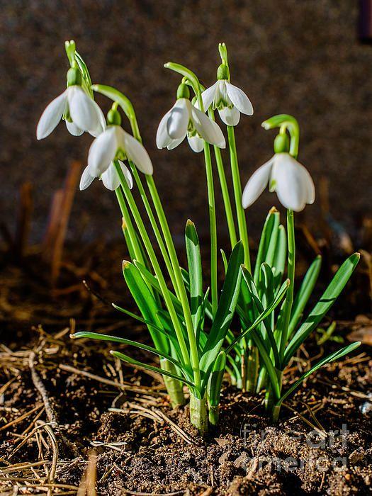 Gang of Snowdrops - Ismo Raisanen #art #fineartphotography #photog #deals #ismoraisanen