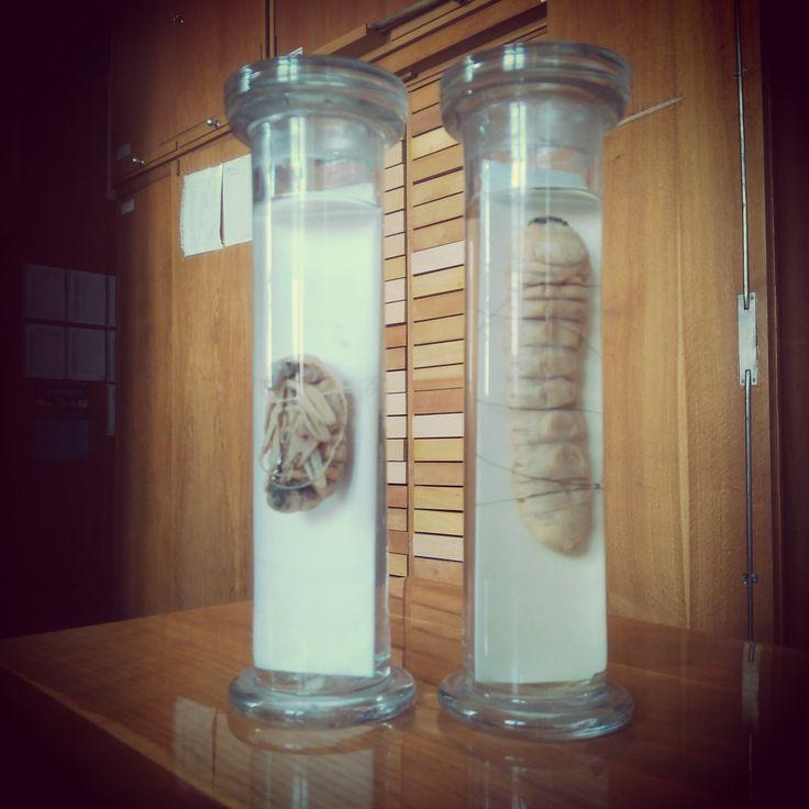 Báb és lárva a Bogárgyűjteményben / Pupae and larvae in the Coleoptera collection
