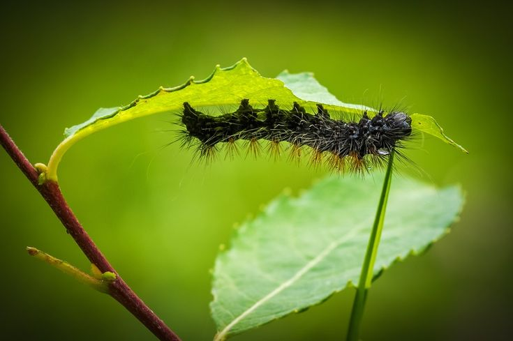 Free photo: Caterpillar, Larva, Animal, Fauna - Free Image on Pixabay - 967634