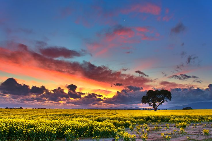 Canola Sunset We had stormy weather last night, but despite that had this crazy sunset over the beautiful canola field