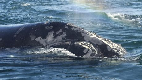Technology used in hunt of a different kind for North Atlantic right whales
