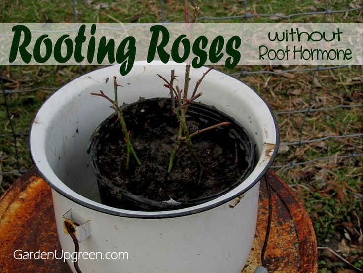 Best 25 Rooting Roses Ideas On Pinterest Rose Cuttings