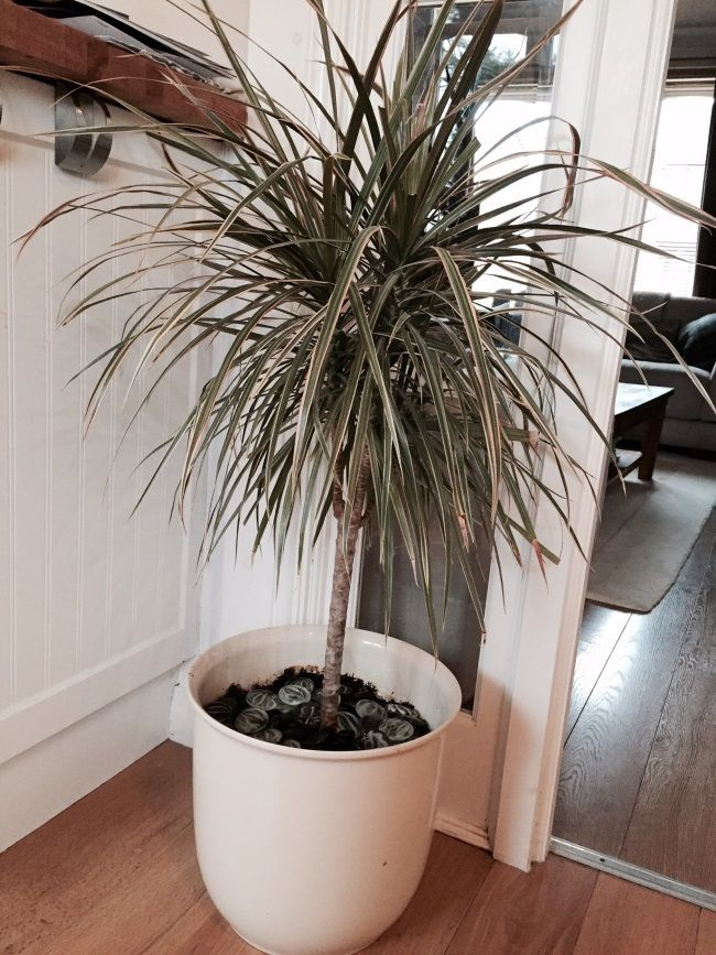 40 Best Images About Gardening Dracaenas On Pinterest