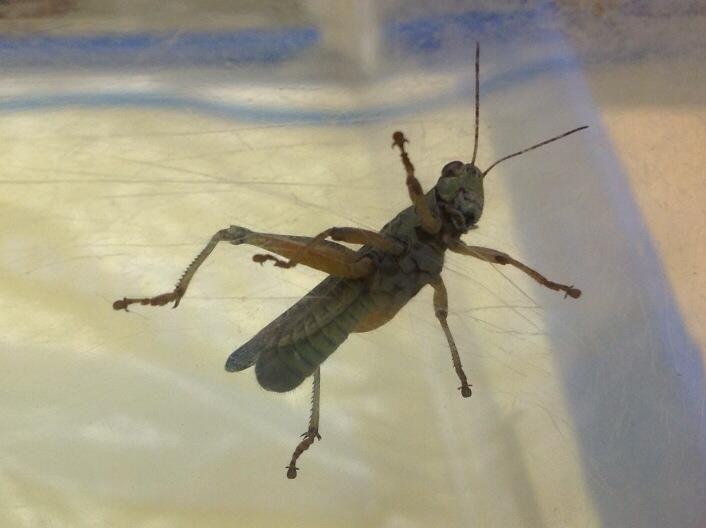 Grasshopper Belly