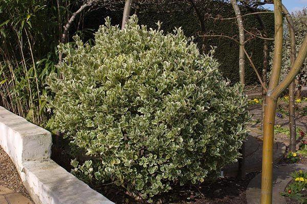 17 meilleures id es propos de arbuste japonais sur pinterest bonsai plante arbre du japon. Black Bedroom Furniture Sets. Home Design Ideas