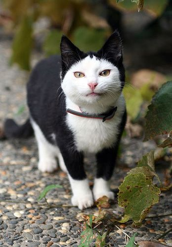 This white cat wanted to be batman for halloween!