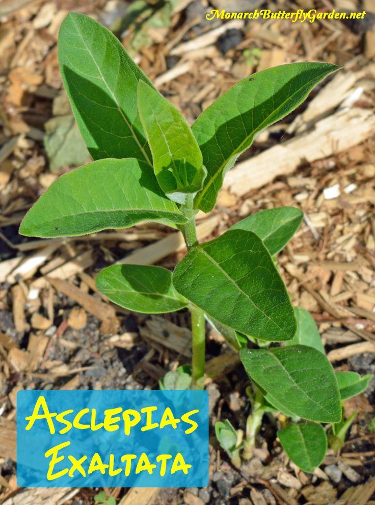 asclepias exaltata poke milkweed for monarch butterfly garden plantsherb