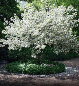 Snowdrift crabapple - I'd love to do greenery around the trunk of mine