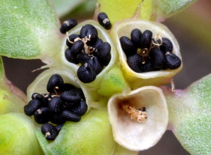 die besten 25 portulaca oleracea ideen auf pinterest essbare pflanzen essbare wilde pflanzen. Black Bedroom Furniture Sets. Home Design Ideas