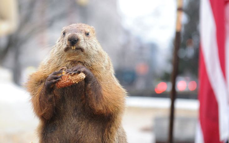 Una marmota fotografiada durante el 'Dia de la Marmota' en Washington DC (Barcroft Media, 2015)