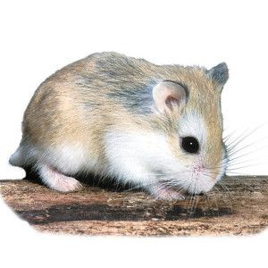 Pet Hamsters for Sale » Robo Dwarf Hamster | PetSmart