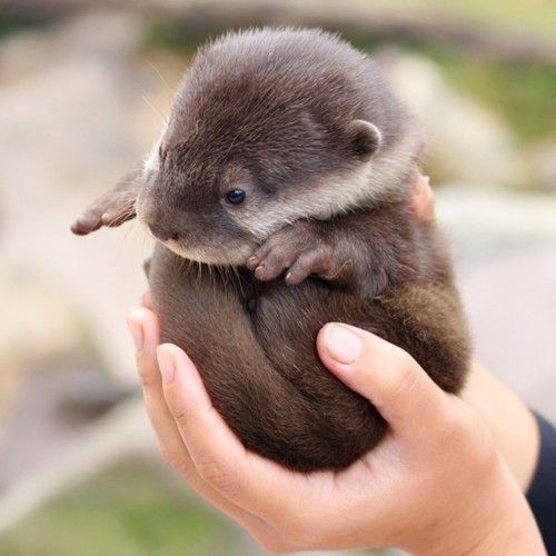 A really tiny cute otter