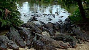 Трагедия в парке «Уолт Дисней»: отец не смог отбить сына у крокодила (видео)