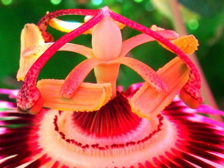 neon: Flowers Passiflora, Flowers Stamen, Beautiful Flowers, Unique Flowers, Passiflora Caerulea, Passion Fruit, Beautiful Outdoor, Passion Vines, Passion Flowers