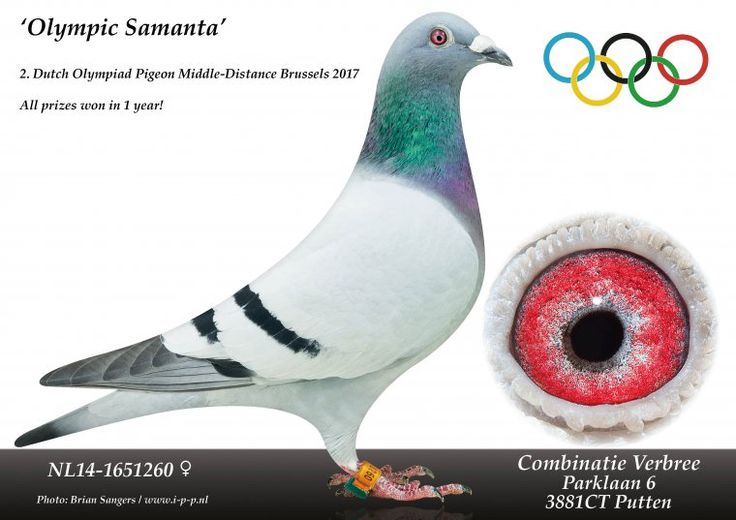 Comb. Verbree (Putten, NL) have another Olympiad Pigeon in their collection with the outstanding Olympic Samanta | PIPA