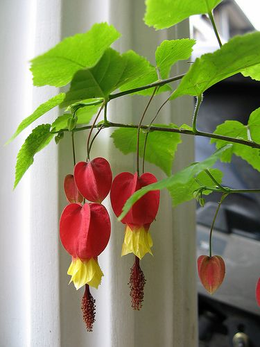 Trailing Abutilon. Brazilian tropical, pipes up in early summer. afternoon shade, regular water, winter mulching. Plant on wall or fence #flowers #texas #summer