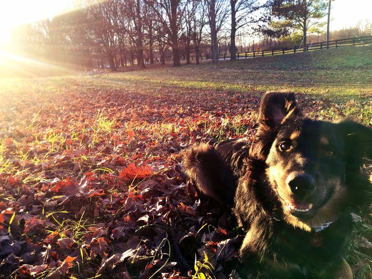 Golden Retriever Dogs For Adoption Nz