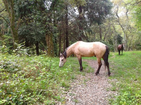 Horses grazing on the forest meadow