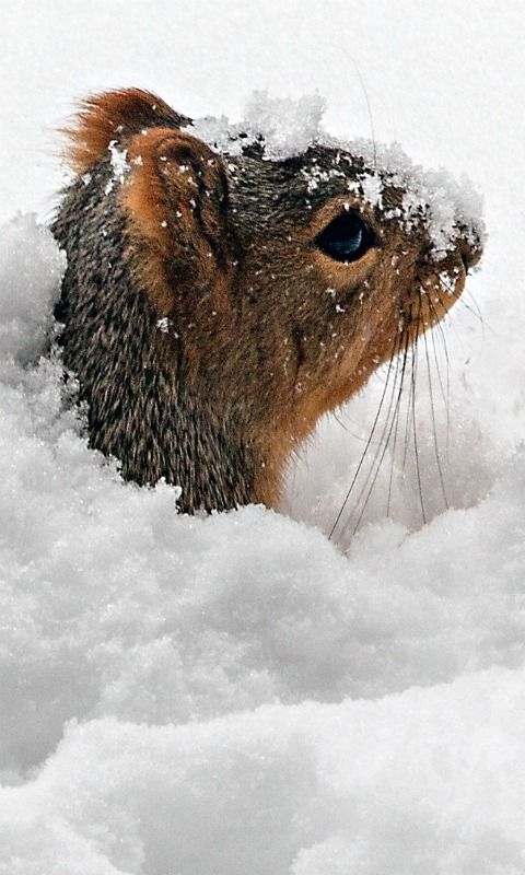 A squirrel pops his head up from under the snow.  He must have been hunting acorns or something...