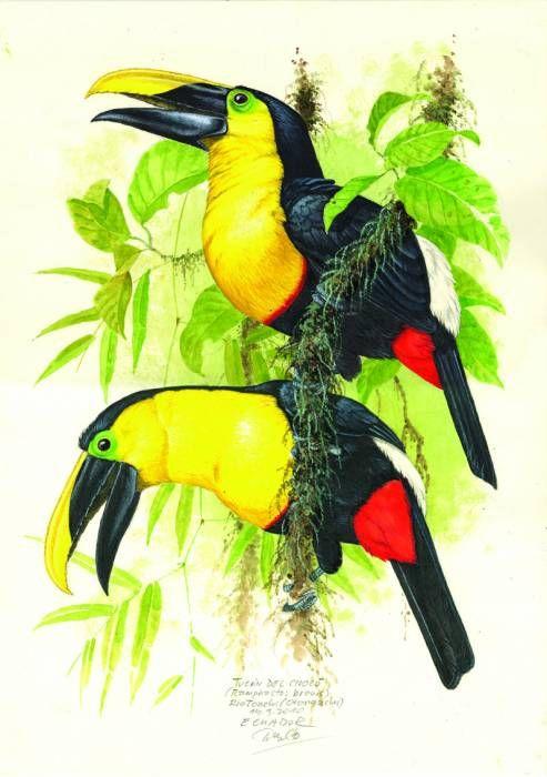 Tukan černohřbetý; Ecuador 2010; Jan Dungel