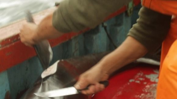 Dolphins butchered for shark bait in illegal hunt off the coast of Peru - http://www.itv.com/news/2013-10-17/dolphins-butchered-for-shark-bait-in-illegal-hunt-off-the-coast-of-peru/ @sea Shepherd Conservation Society #defendconserveprotect