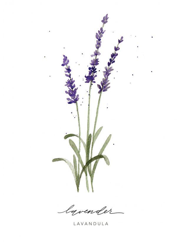 Giclee Print Lavender Herb Ashley Bunten Art Design Watercolor Herbs Herb Art Botanical Painting