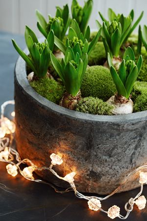 Hyacinth bulbs with bun moss and twinkly lights. From £25.00