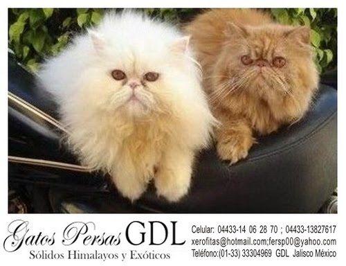 Gatos Persa Solidos Himalayos y Exoticos