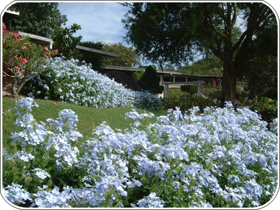 Plumbago Hedge Does Great In Fl Garden Inspiration