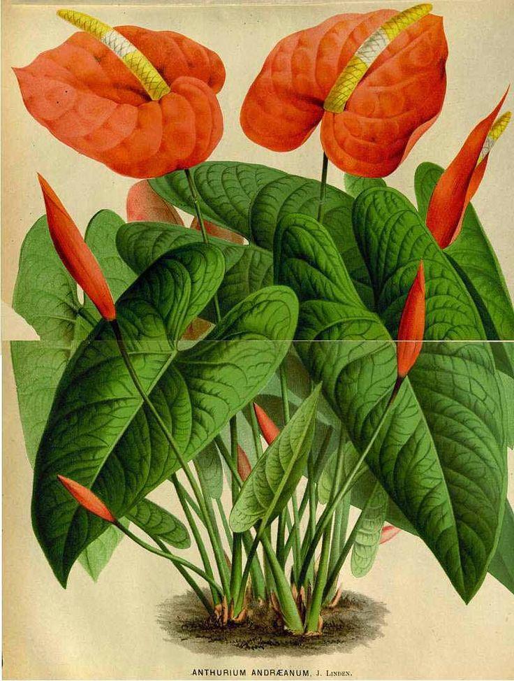 A Febre das Plantas - Plantas de Interior: Antúrio