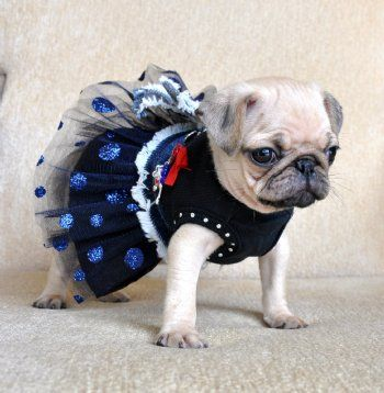 Yes she IS Cute.. but you just KNOW she is trying to figure out who's pillow she's gonna pee on before they all go to bed tonight!!!!   LOLOLOL  Puglet in her little party dress...  SO FREAKING CUTE!