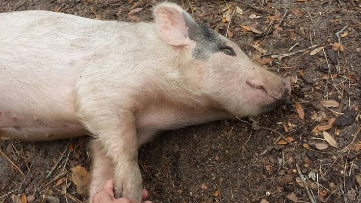 This little piggy is a dreamin'