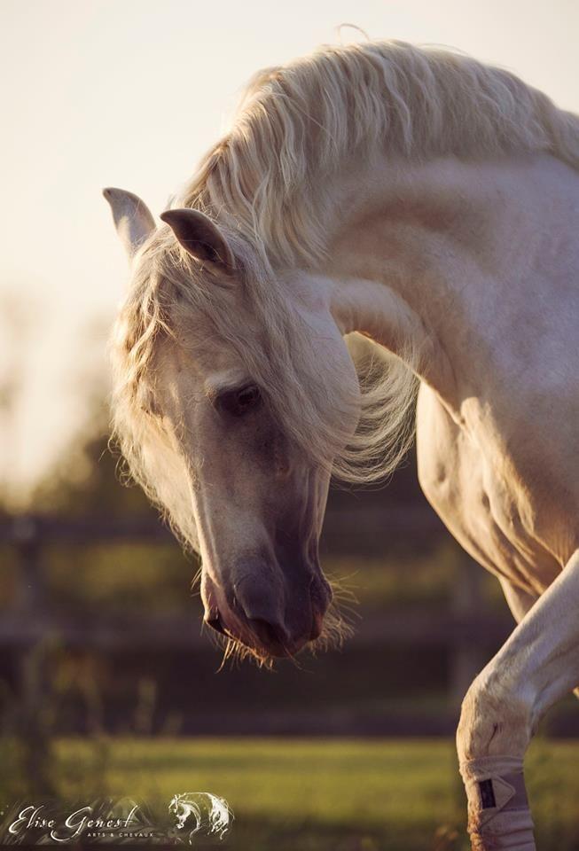 Giraldillo, Casa Arte Equestre, NY. Elise Genest Arts & Horses