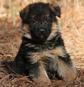 GSD Puppy-Zulu von den Oher Tannen