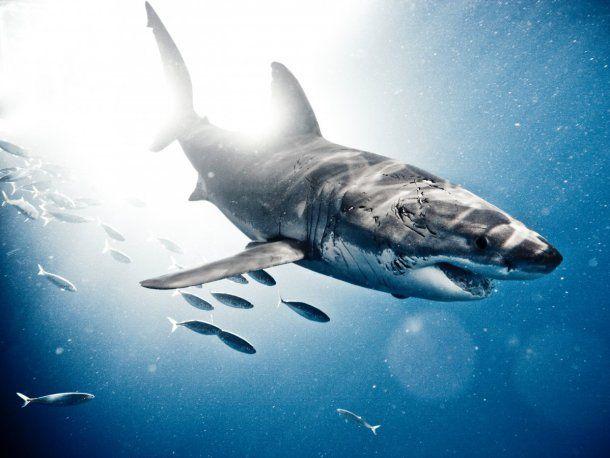 Gran tiburón blanco, Isla de Guadalupe, Octubre de 2009. Michael Muller/Taschen