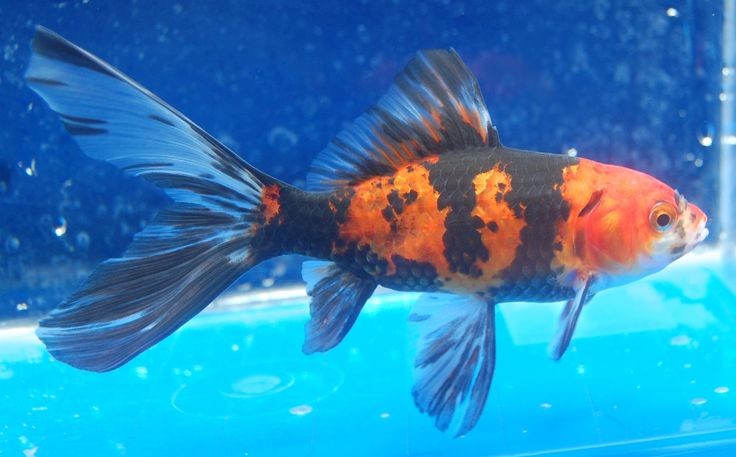 17 best images about goldfish for the pond on pinterest for Shubunki fische