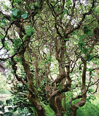 Corylus avellana contorta jacobs walking stick plant for Small specimen trees